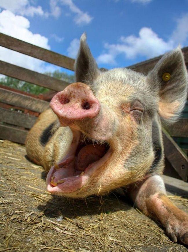 Картинки свиньи смешные, картинки