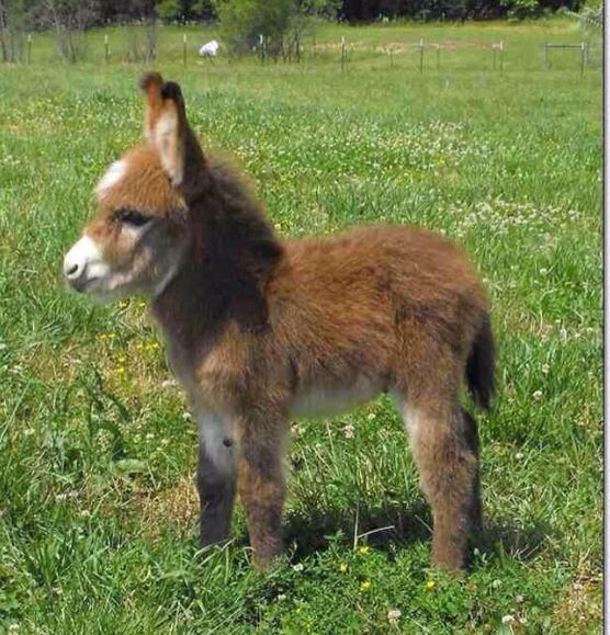 Dwarf donkeys ~~~ I'll take 2