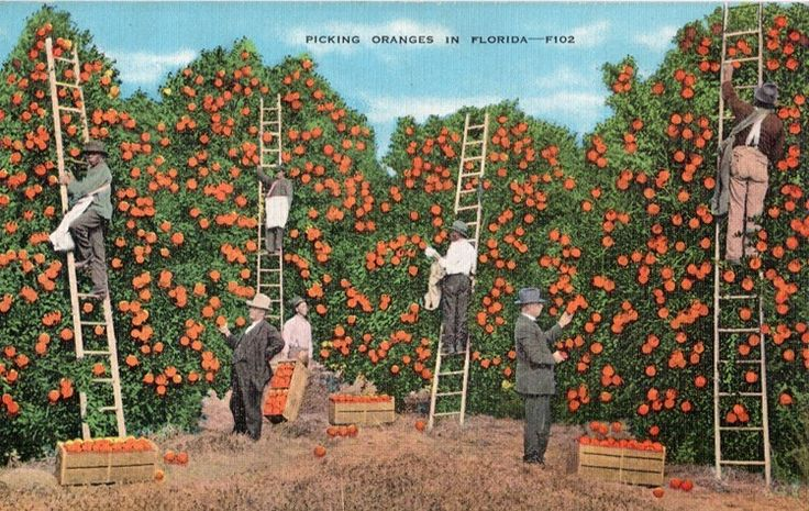 Vintage Florida Postcard Picking Oranges in by VintagePlum