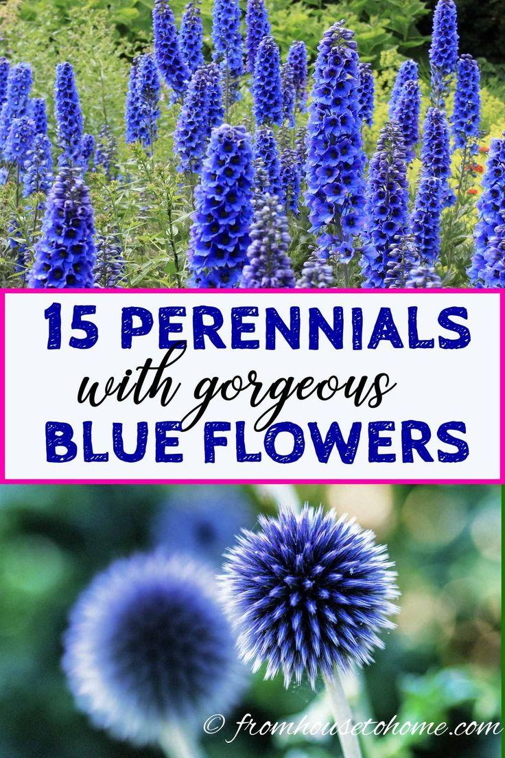 15 der besten pflegeleichten Stauden mit schönen blauen Blüten