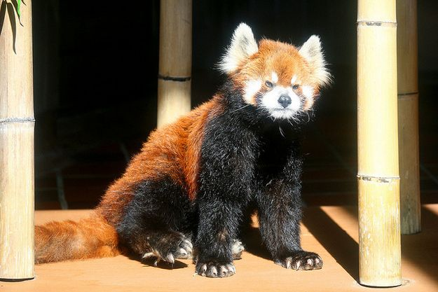 "another reason for me to own a red panda: their ""don't take shit from nobody"" attitude."