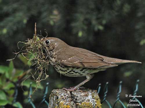 La belle saison pour les Oiseaux de nos jardins (Grive musicienne)...