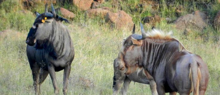 Golden Wildebeest - Hledat Googlem