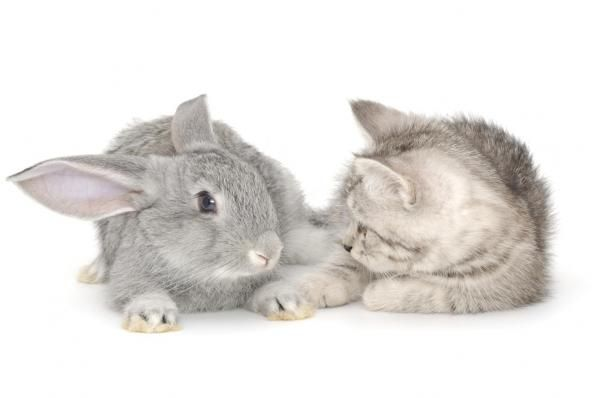 Can A Cat And A Rabbit Live Together Kittens Playing Pet Rabbit Cute Animals