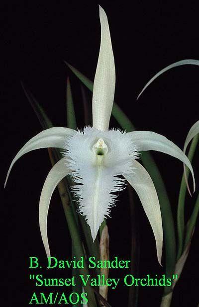 "David Sander 'Sunset Valley Orchids"" AM/AO  all time favorite!!  (B. cucullata x B. digbyana)"