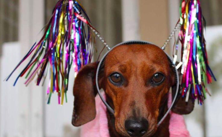 15 Dachshunds Who Embody Your Drunken New Year's Eve 2015