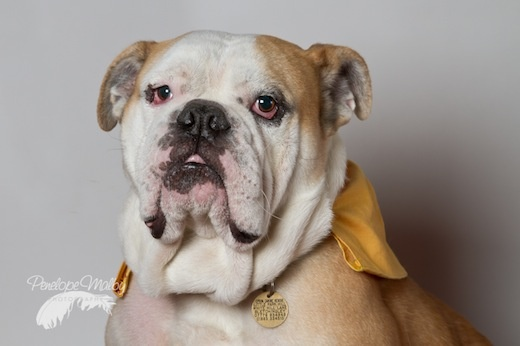 37 best images about Victorian bulldog on Pinterest ...