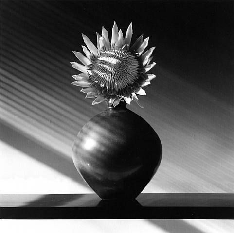 Protea – Robert Mapplethorpe