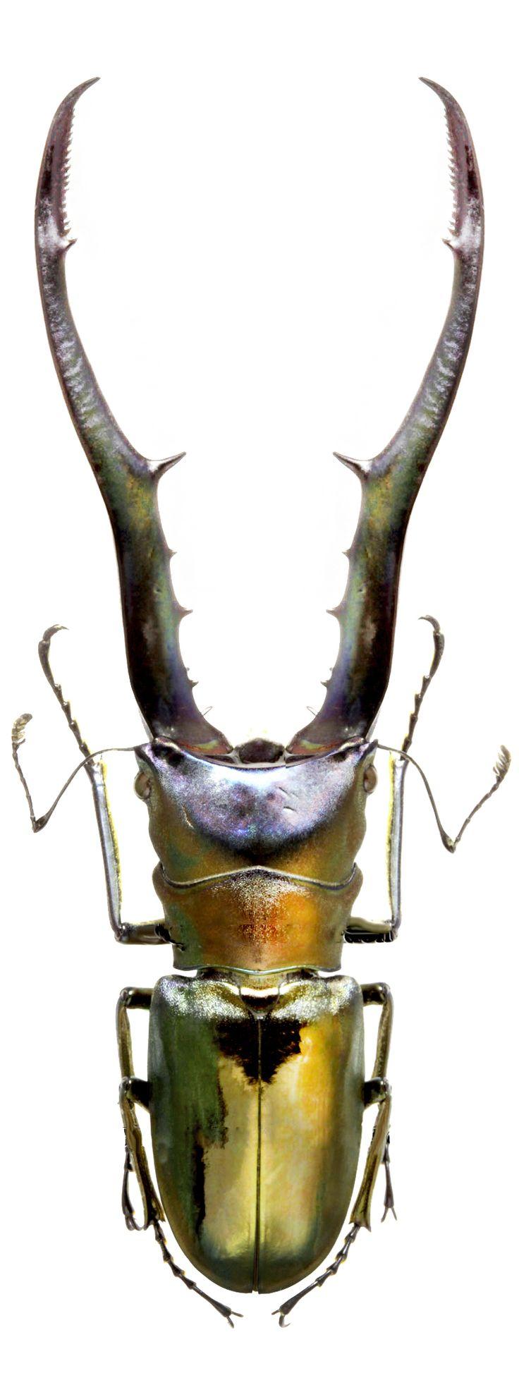 Cyclommatus metallifer                                                       …