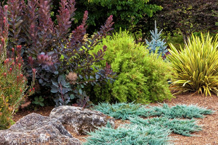 Blue Chip Creeping Juniper Shown Here Has A Wonderful Color