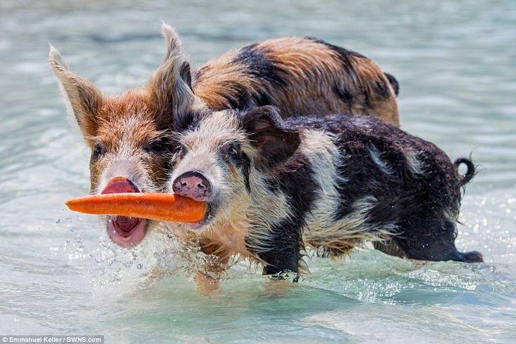 Плавающие свиньи на Багамах. Остров Свиней