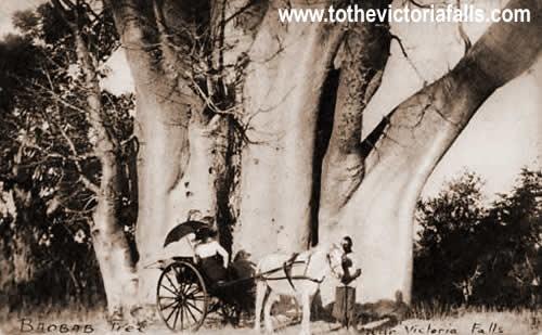 Rickshaw at the Big Tree