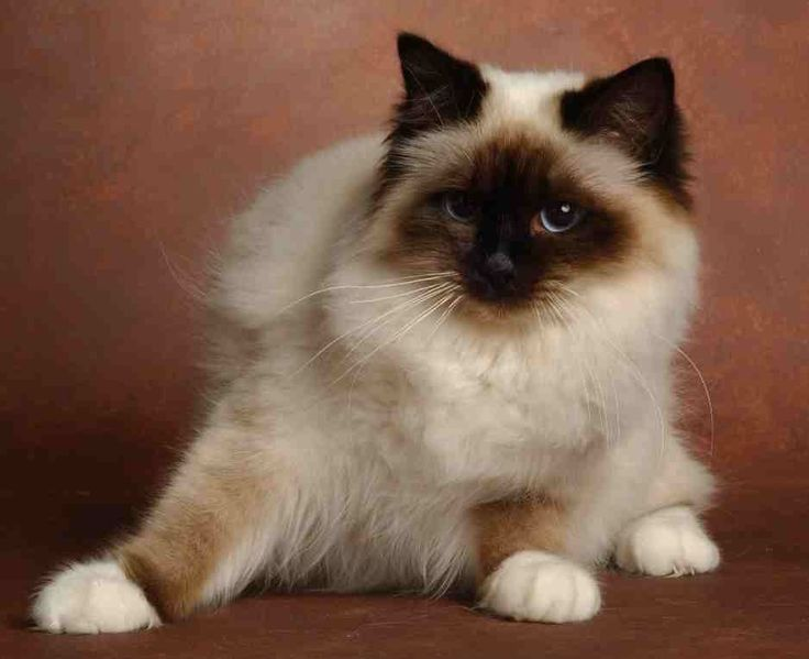 Le Sacré de Birmanie ou Birman, histoire et caractériques de cette race de chat