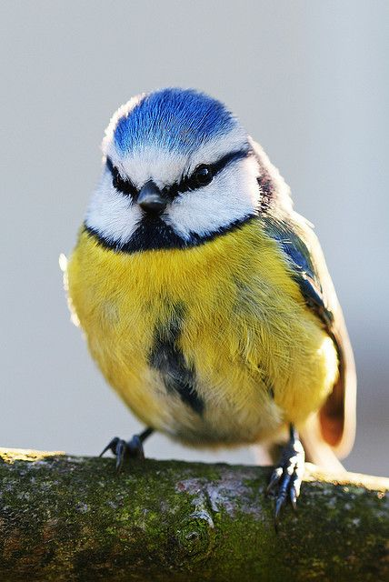 Bluetit. Round little bird. Adorable