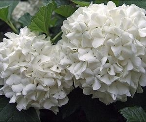 Care of a Snowball Bush | eHow.com