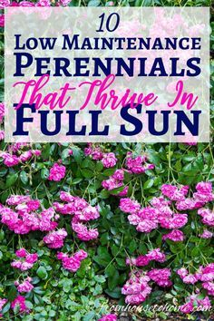 These low maintenance full sun perennials all have pretty flowers and will brighten up your garden border. Even better...they don't require a lot of work to make your landscaping look beautiful. #FullSunPerennials #SunPlants