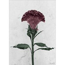 Vee Speers Plakat Botanica Celosia Cristata