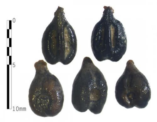"They may not look like much to the untrained eye, but these ancient Roman grape seeds, believed to back to the 1st century A.D., could provide ""a real breakthrough"" in the understanding of the history of Chianti vineyards in the area, de Grummond says."