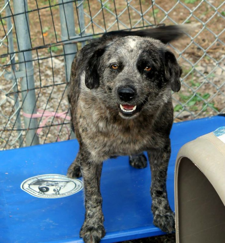 Female, 1-2 years Old, 45 Pounds, Australian Cattle Dog Mix  White County Animal Shelter Sparta, TN 931-761-3647 wcanimalshelterspartatn@gmail.com  Bluebell is a sweet girl that coos and moans when she is being petted. She loves people and seems to get along with other dogs. We believe she came in with her daughter Blossom.