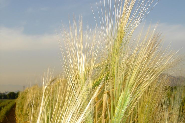 #Barley genome sequenced - Phys.Org: Phys.Org Barley genome sequenced Phys.Org Looking for a better beer or single malt Scotch whiskey? A…