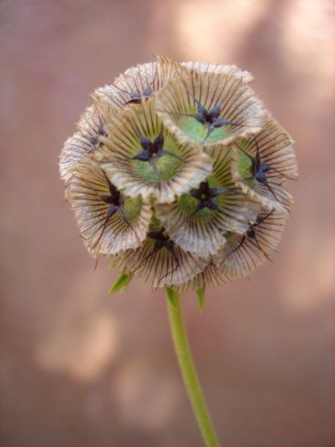 scabiosa seed pods. i really love these.