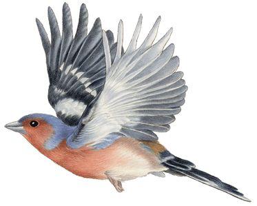 Vogels   Francien van Westering