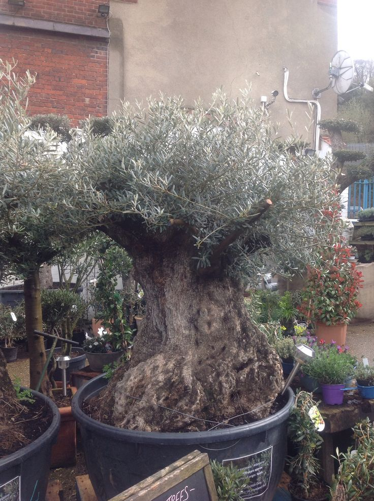 300 year old gnarled olive tree for sale bonsai for Olive trees for sale