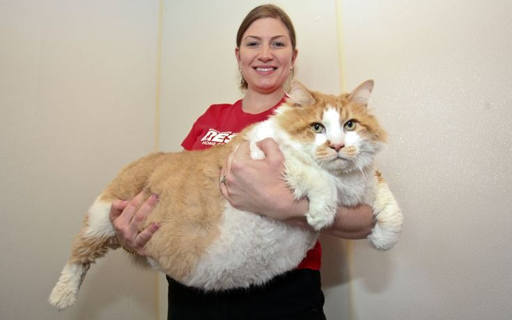 Could this be the world's fattest cat? Janet Ciminelli of North Shore Animal League of America in Long Island, New York, holds Garfield, a 40lb feline. The obese cat was brought into the animal rescue centre after his owner passed away. Staff have put him on a diet and are looking for a new owner who is committed to helping him become healthy and active.