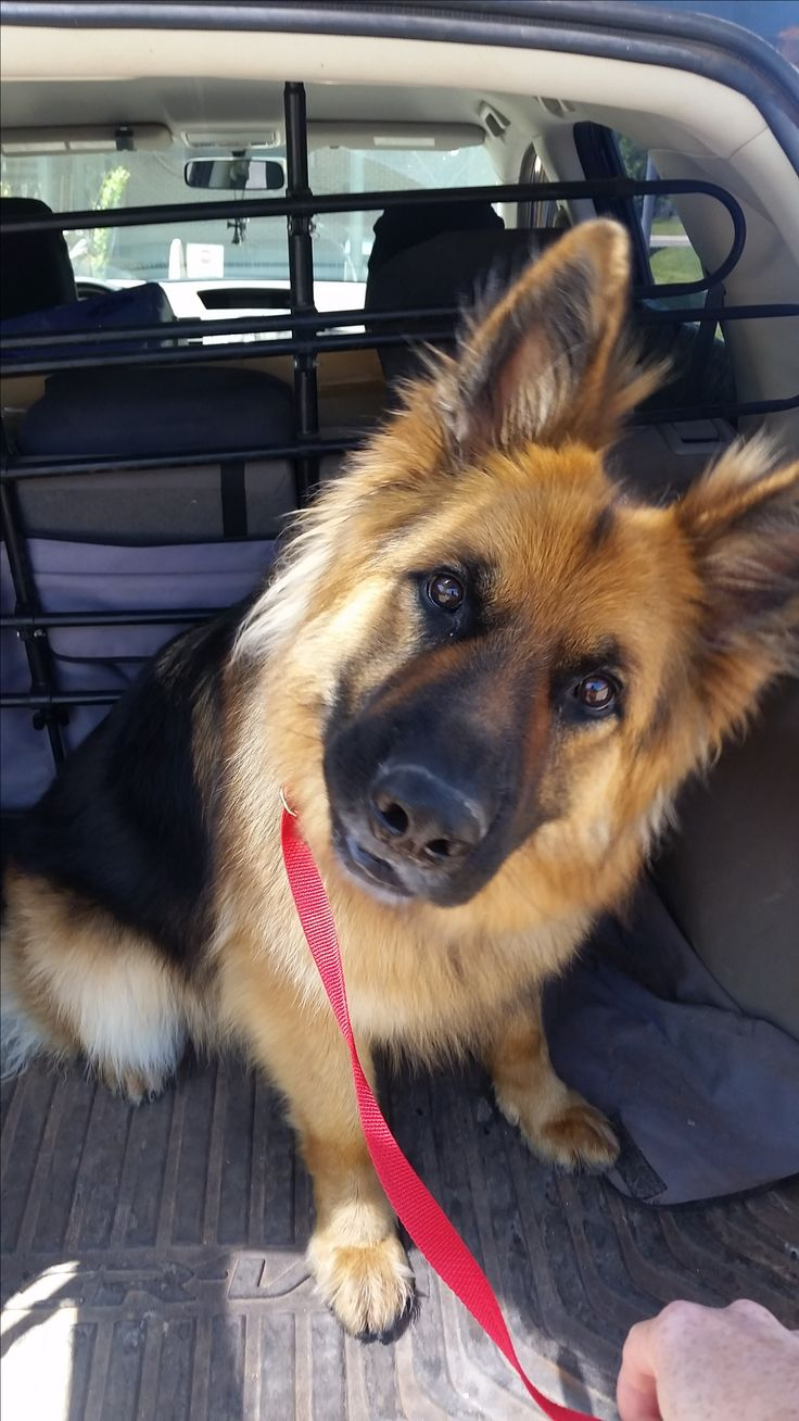 German Shepherd Dog dog for Adoption in Edmond, OK. ADN-565967 on PuppyFinder.com Gender: Male. Age: Adult