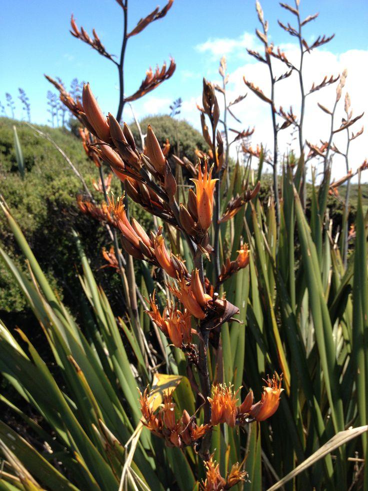 NZ Flax plant Auckland www.wooree.co.nz