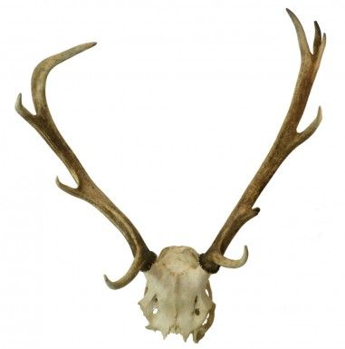 10 Points Deer Antlers with a Skull Trophy for Wall Decoration, Vintage French