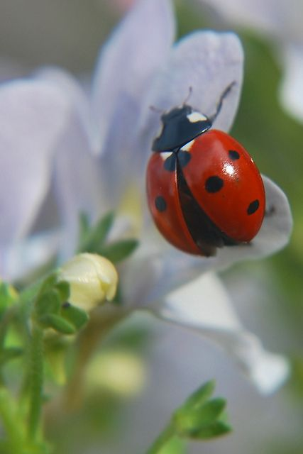 """""""Ladybird, Ladybird; fly out of the rose, and land upon my little nose!"""" (Photo By: geebeezz.)"""