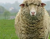 Ähnliche Artikel wie Rustikal, Schafe, Ewe, Französisch, Land, Bauernhof, Kindergarten, Kinder, Home Decor, Original Fine Art Fotografie, 20 x 24 auf Etsy
