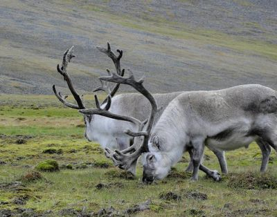 Short-legged Svalbard reindeer in Norway