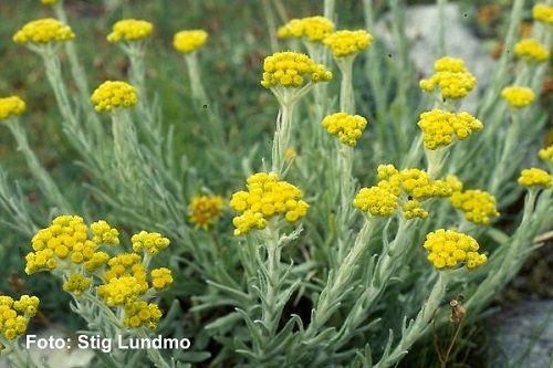Заварите эти 4 травы и эликсир молодости готов! — Здоровое Долголетие
