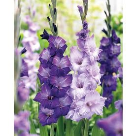 $9.98 Garden State Bulb 40-Pack Mixed Blue Shades Gladiolus -Bulbs-Blue Light Requirements	Full sun Maximum Height (Inches)	60 Maximum Width (Inches)	6 BACK ROW & FENCE LINE