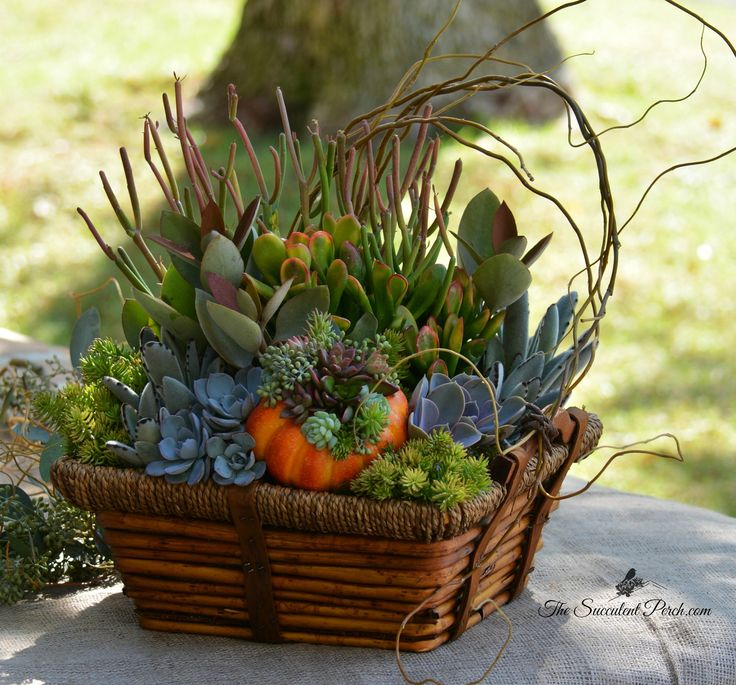 Please join me for a Hands-On Workshop, Saturday, October 18th, 2014 at Oasis Water Efficient Gardens, located in Escondido, CA from 10am-Noon. Well be creating an Autumn Inspired Succulent Basket Arrangement with a Succulent Topped Pumpkin as an accent! please email Cindy of The Succulent Perch at thesucculentperch@hotmail.com to pre-register.