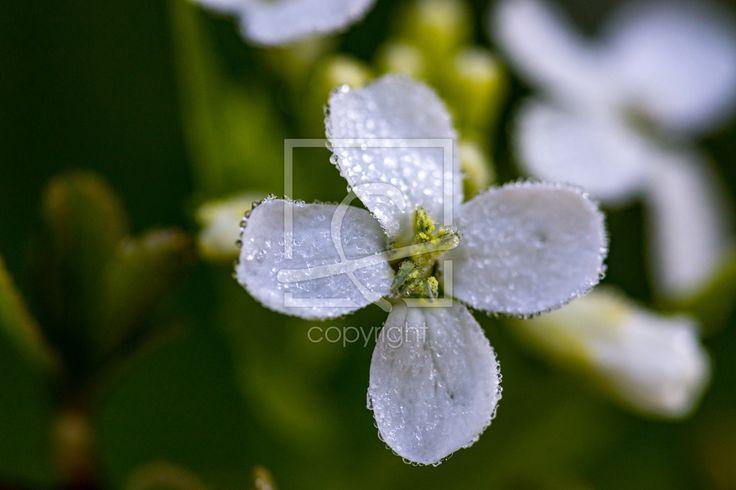 Noch liegt Reif auf der Blüte des Lauchkrauts  - Gerade gefunden auf http://ronni-shop.fineartprint.de