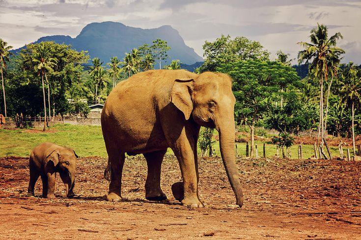 Elephant Photograph - Follow The Mom. Elephants.  by Svetlana Yelkovan #SvetlanaYelkovanFineArtPhotography #SriLanka #ArtForHome #FineArtPrints #Landscape #Elephant #Pinnawalaelephantorphanage