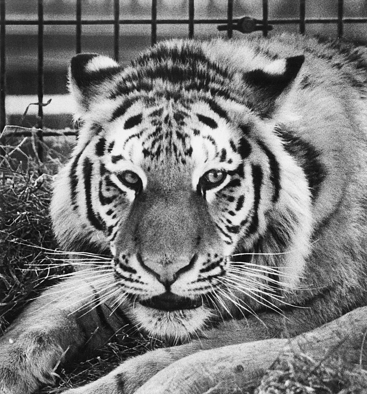 Ruby the tiger was the face of...