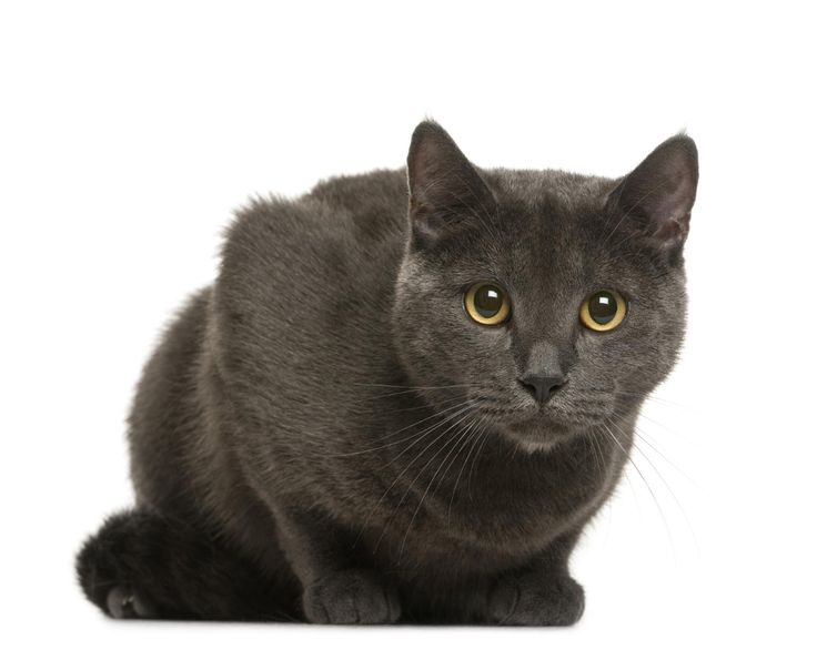 What Is a Chartreux Cat - Everything you Need to Know
