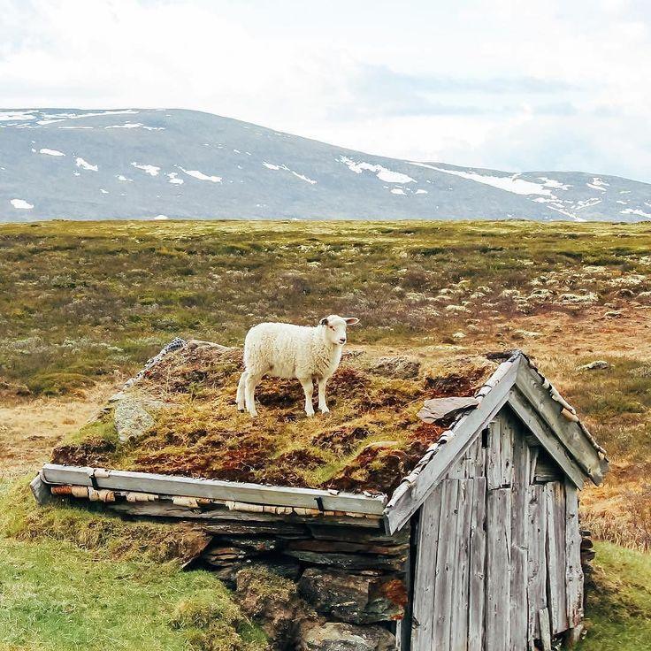 "When I say ""I'm so hungry I could eat a house"" I mean it -Lars #SheepWithAView  #via @sheepwithaview #norway"