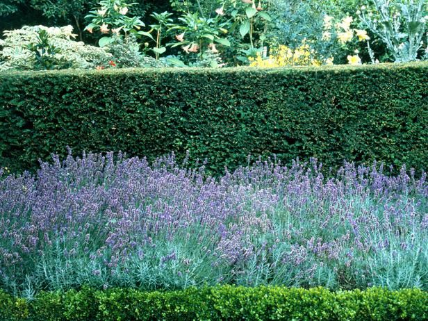 Purple Spikes of Lavender would look great in front of the privet hedge.