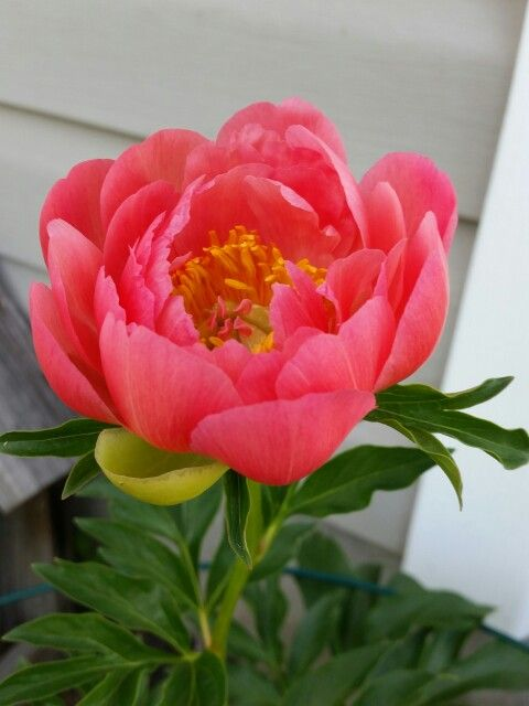 My coral peonies                                                                                                                                                     More