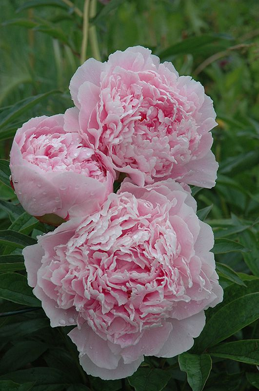 Sorbet Peony (Paeonia 'Sorbet') at Stauffers Of Kissel Hill