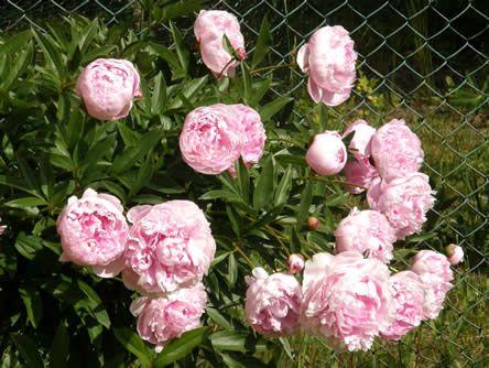 Paeonia Sarah Bernhardt Pioenen of pioenrozen (Paeonia). Dit zijn geen rozen, maar veel van de weelderig, inderdaad roosachtig bloeiende vaste pioenen uit dit geslacht (er bestaan ook heester- en zelfs boompioenen) zijn zeer lang levende tuinplanten. . Roze pioenen betekenden vroeger: 'mijn liefde beschermt je'; rode: 'vertrouw alleen op mij'; witte: 'zorg goed voor jezelf'.