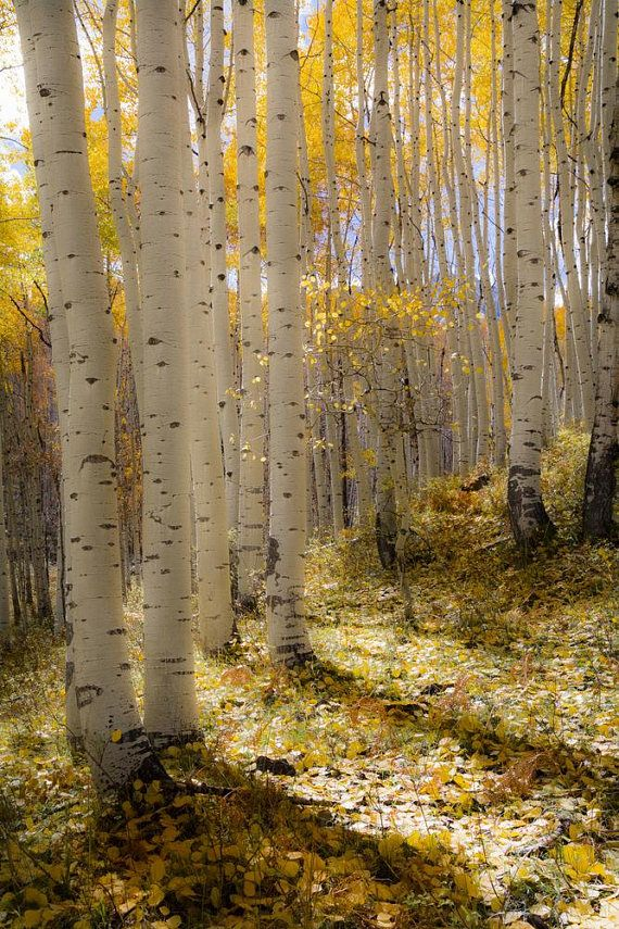 Aspen Trees fall tree decor Colorado art rustic wall art