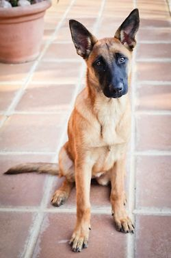 "Belgian Malinois - a ""someday"" dog. They are sleeker than German Shepherd (another favorite), but have the same look/personality."