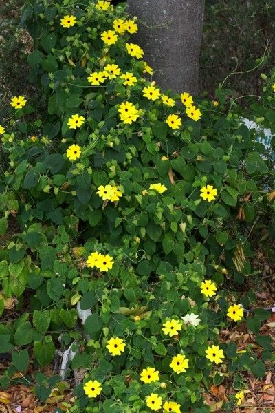 black-eyed-susan-vine-...I have these growing from seed, but did not realize they're an annual in our area! oops