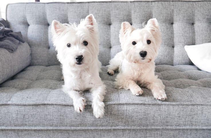 Westies pose for treat compensation 🙈 | Follow The Westie Besties on Instagram http://www.instagram.com/thewestiebesties | #Westie #Westy #Westies #Pets #Dogs #Cute #Adorable